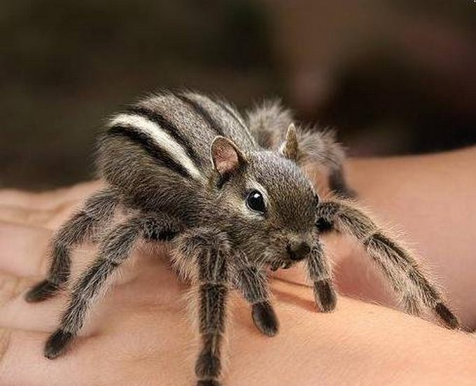 Araña-ardilla