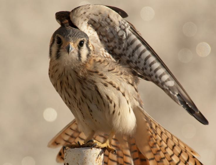 falco_sparverius_cinnamonimus
