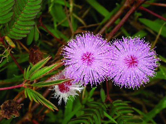 Mimosa-pudica