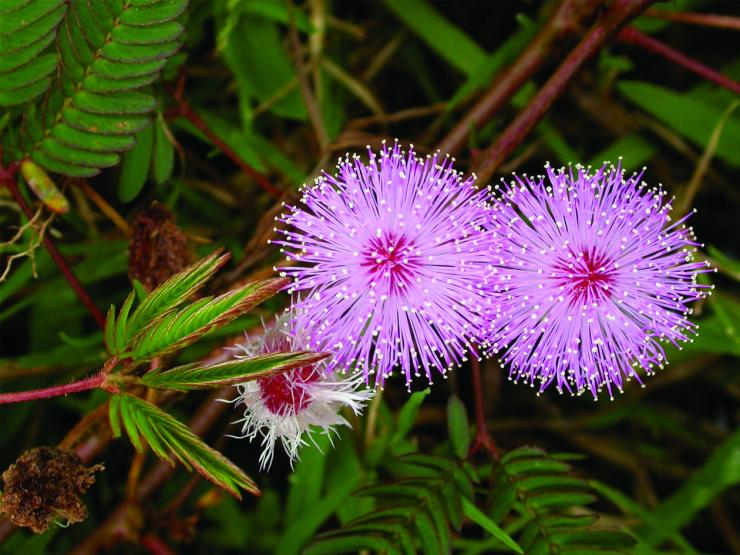 Mimosa-pudica