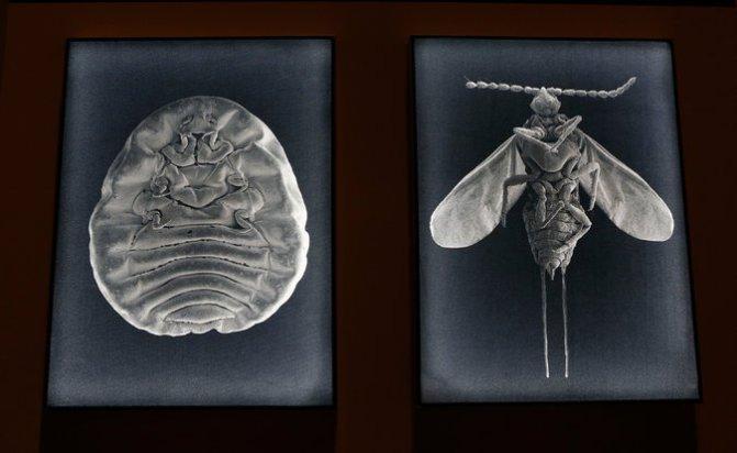 La cochinilla, el insecto mexicano que es la fuente del colorante, en exhibición como parte de la exposición en Ciudad de México Credit Marco Ugarte_Associated Press